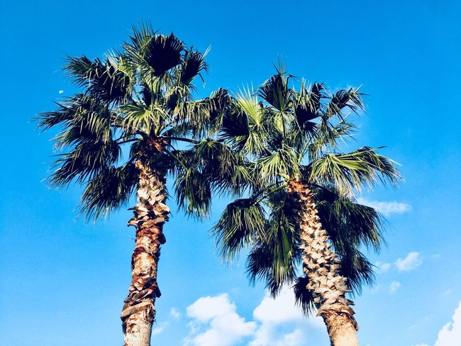 Palm Trees Vacations Sky Plant Low Angle View Tree Blue Growth Beauty In Nature Nature Sunlight Outdoors