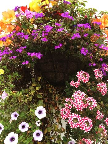 Hangingbasket Flowers