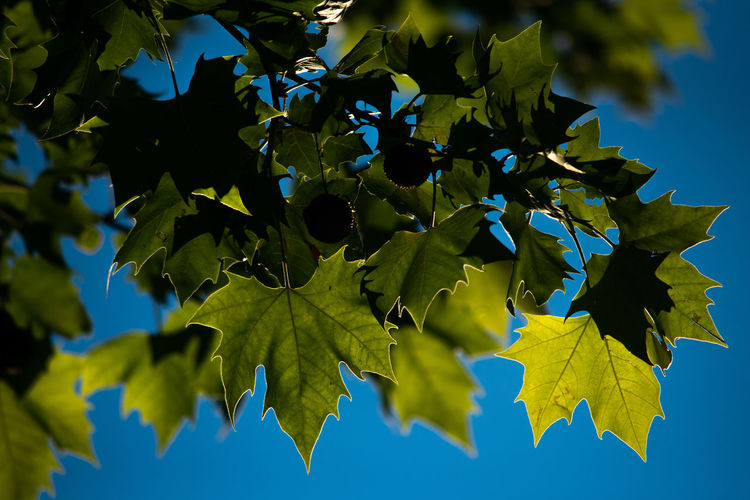 Plant Part Leaf Blue Green Color Plant Nature Growth Tree No People Low Angle View Sky Maple Leaf Beauty In Nature Day Yellow Close-up Outdoors Sunlight Branch Maple Tree Leaves Backgrounds