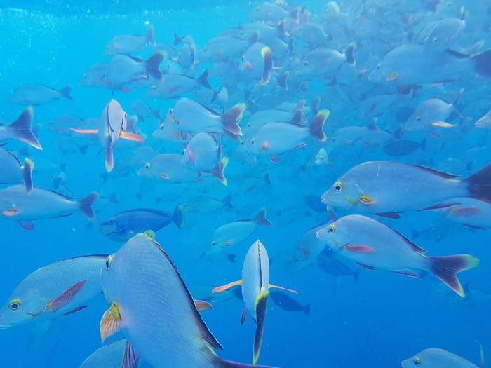 Large Group Of Animals Fish Sea Underwater Animals In The Wild Sea Life UnderSea Nature Scuba Diving Animal Themes Animal Wildlife Snorkeling Plongée Vacations French Polynesia Travel Destinations Beauty In Nature Tourism Poissons Animals In The Wild Water Blue No People Done That.