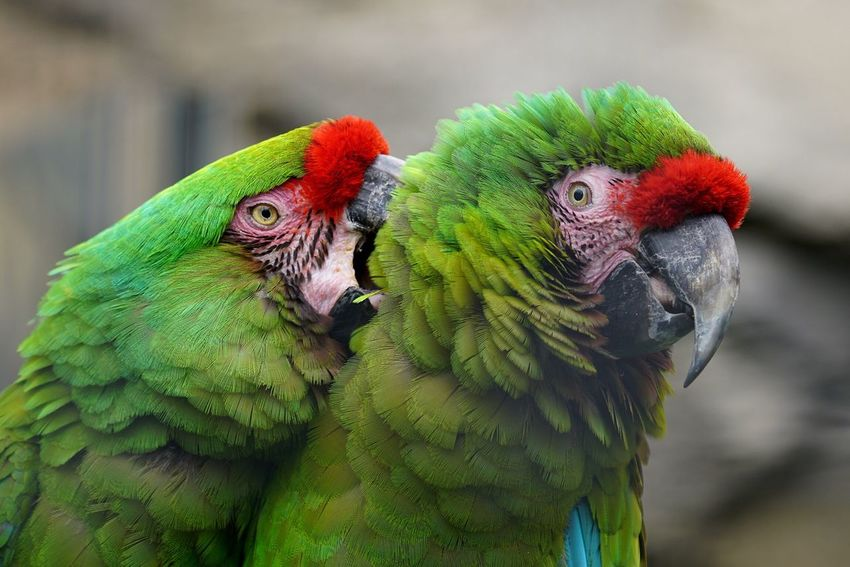 Parrot Bird Green Color Animals In The Wild Macaw Animal Themes Focus On Foreground Animal Wildlife Close-up Day Nature Outdoors No People Beak Multi Colored Beauty In Nature Rainbow Lorikeet Gold And Blue Macaw Animals
