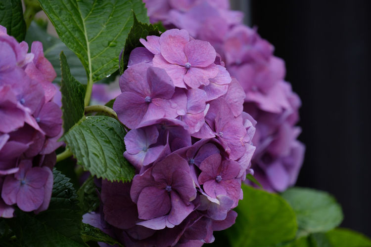 Hydrangea Hydrangea Flower Japan Japan Photography Fujifilm Fujifilm_xseries X-t2 FUJIFILM X-T2 Flowering Plant Flower Vulnerability  Fragility Freshness Plant Petal Beauty In Nature Growth Close-up Flower Head Purple Focus On Foreground No People Nature Bunch Of Flowers