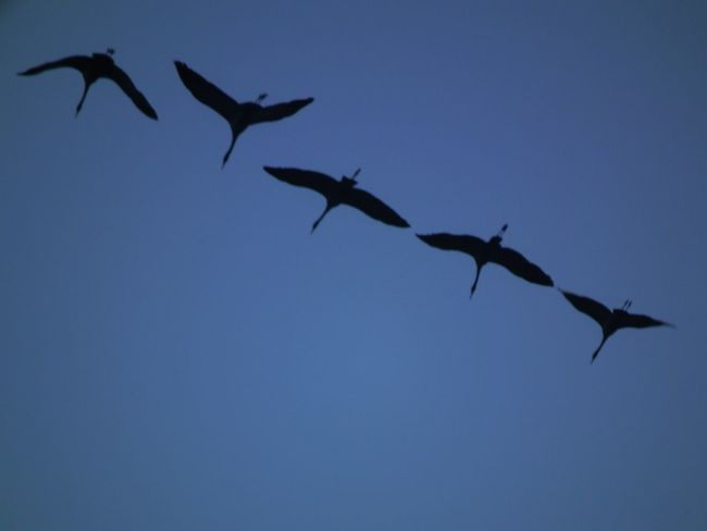 geese En Route En Route Home Flying Flying Bird Geese Geese In Flight Nature Photography On The Way Synchronous