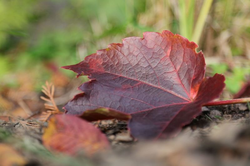 """Autumn"" Leaf Autumn Change Dry Nature Day Selective Focus Close-up Maple Leaf Outdoors Fallen Maple No People Beauty In Nature Fragility Herbst Autumn Autumn Colors Autumn Leaves Blätter Michael Hruschka Nature Nature_collection Leaves Wine"