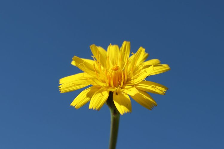 Low angle view of yellow flower against clear blue sky