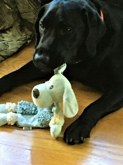 English Black Lab Animal Themes Boy And His Toy Close-up Day Dog Domestic Animals Hardwood Floor Home Interior Indoors  Mammal No People Pets Stuffed Toy