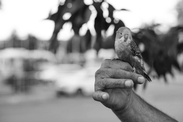 Cropped image of hand holding budgerigar