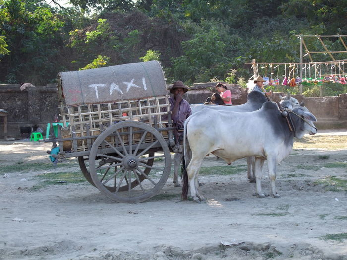 Taxi! at Mingun Jetty Animal Themes Bullock Cart Bullockcart Bullocks Carriage Cart Composition Domestic Animals Full Frame Livestock Mingun Mode Of Transport Myanmar Outdoor Photography Sunlight And Shade Taxi Taxi Driver Tourism Tourist Attraction  Tourist Destination Transport Travel Destination Tree Waiting For A Ride Working Animal