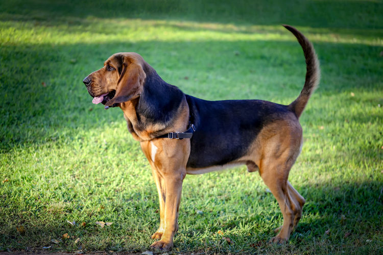A beautiful young bloodhound stands on a green lawn on a sunny summer day. Puppy Dog Pet Animal Bloodhound Portrait Canine Domestic Mammal Cute Beautiful Hound Large Purebred Happy One Adorable Friend Background Breed Young Friendly Brown Companion Furry Rest Lovely Attentive Ears Blood Scent Carnivore Bite Vigilant Whelp Outside Lawn Summer Outdoors Sunny Park Stands Standing One Animal Animal Themes Grass Domestic Animals Pets Vertebrate Plant Land Field Nature Day No People Green Color Looking Away Focus On Foreground Mouth Open My Best Photo