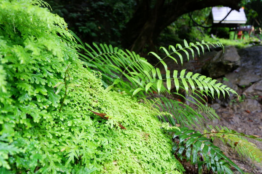 green fern on rock Road Selaginellaceae Spike Moss Beauty In Nature Close-up Day Environment Fern Focus On Foreground Food Freshness Green Color Growth Land Leaf Moss Nature No People Outdoors Plant Plant Part Selaginella Springtime Stone Tranquility Tree Water