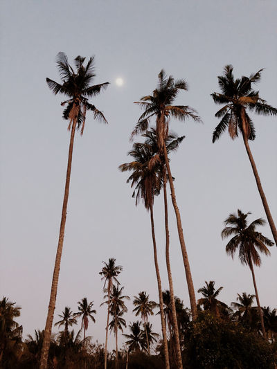 Palm trees and the moon Palm Tree Tropical Climate Sky Low Angle View Tree Trunk Coconut Palm Tree Nature No People Tropical Tree Beauty In Nature Tranquility Scenics - Nature Outdoors Palm Leaf Tranquil Scene Sunset Moon Nusa Penida Bali Summer Tropical