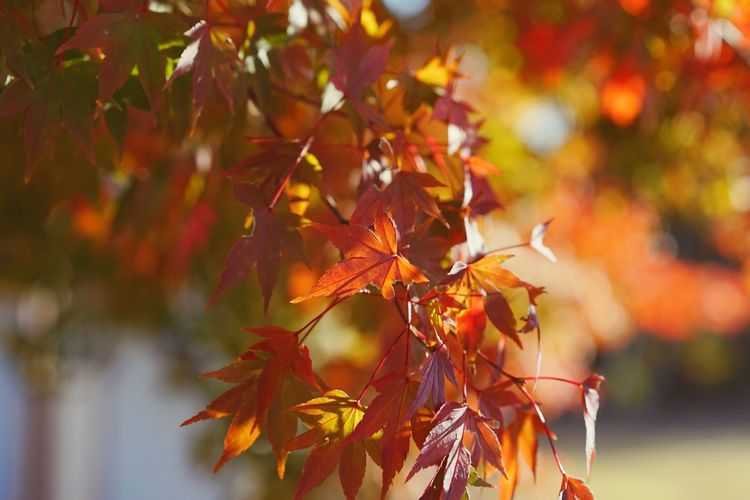 EyeEm Selects Leaf Autumn Change Maple Leaf Maple Tree Leaves Maple Nature Orange Color Outdoors Focus On Foreground Backgrounds Copy Space Fall Beauty Fall Colors Fall Leaves Sunlight Beauty In Nature Day Tree No People Growth Close-up Branch
