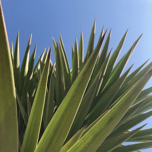 Close-up of succulent plant against clear sky