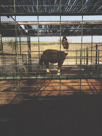 Yok artik, deve!🐪 Animal Themes Domestic Animals Mammal One Animal Animals In Captivity Cage Livestock Day Indoors  No People Nature