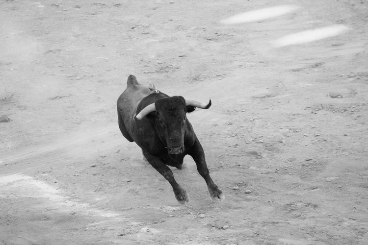 High Angle View Of Running Bull
