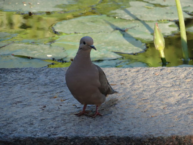Bird Animals In The Wild Animal Wildlife One Animal Animal Themes Water No People Nature Mourning Dove Outdoors Day Swimming Perching