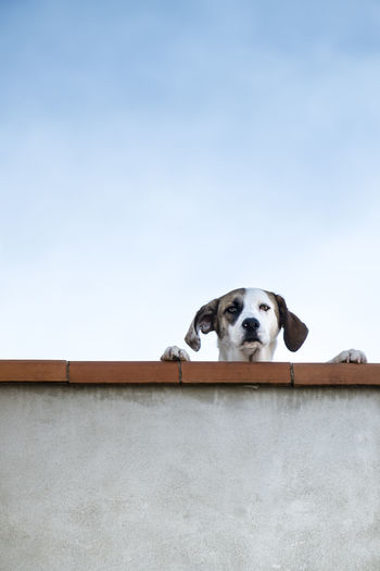 Low angle view of dog behind retaining wall against clear sky