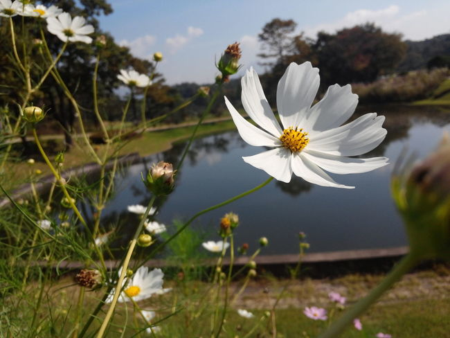 Flower Cosmos Hanging Out Ilsan