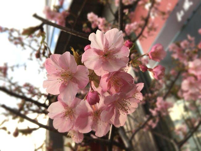 Kyoto Sakura 2017 Kyoto Sakura Kyoto Spling Kyoto Spling Flower Sakura 2017 Kyoto Cherry Blossom Cherry Blossoms Cherry Blossom Kyoto Cherry Blossom Kyoto Sakura Sakura Kyoto,japan Kyoto City
