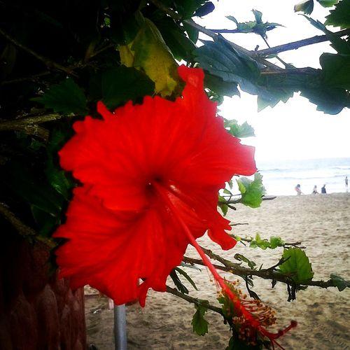 Peregrina flower in Montañita - Ecuador Taking Photos Enjoying Life Beachlife Montañita,Ecuador Playa Life Is A Beach Beach Photography Beach Check This Out Flowers Flower Red Red Flower Playa Beach