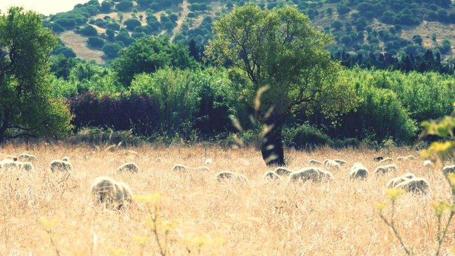 Italy Nature Photography Nature Sheep Sardinia Sardegna Villasimius