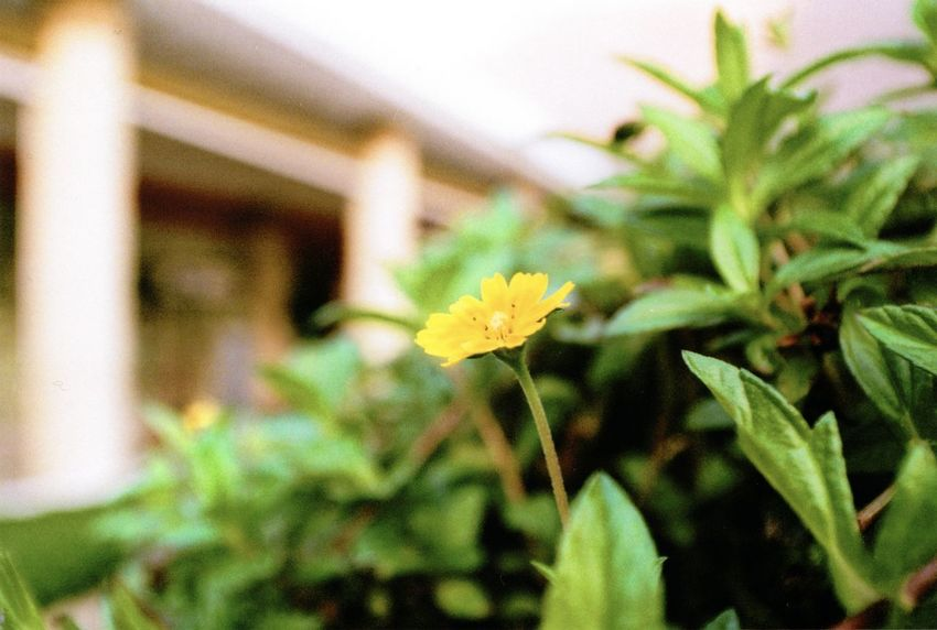 35mm Film Beauty In Nature Blooming Close-up Day Film Flower Flower Head Fragility Freshness Green Color Growth Leaf Minolta Minolta Maxxum Nature No People Outdoors Petal Plant Yellow