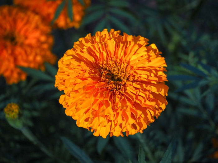 marigold Beauty