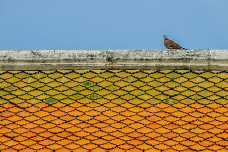 Grey pigeon perching on the ridge of orange tiled roof with blue sky background. Wat Suthat Animal Animal Themes Animal Wildlife Animals In The Wild Architecture Bird Blue Built Structure Clear Sky Copy Space Day Low Angle View Nature No People One Animal Outdoors Perching Roof Tile Sky Tiled Roof  Tiles Tiles Architecture Tiles Textures Vertebrate Wall Wall - Building Feature