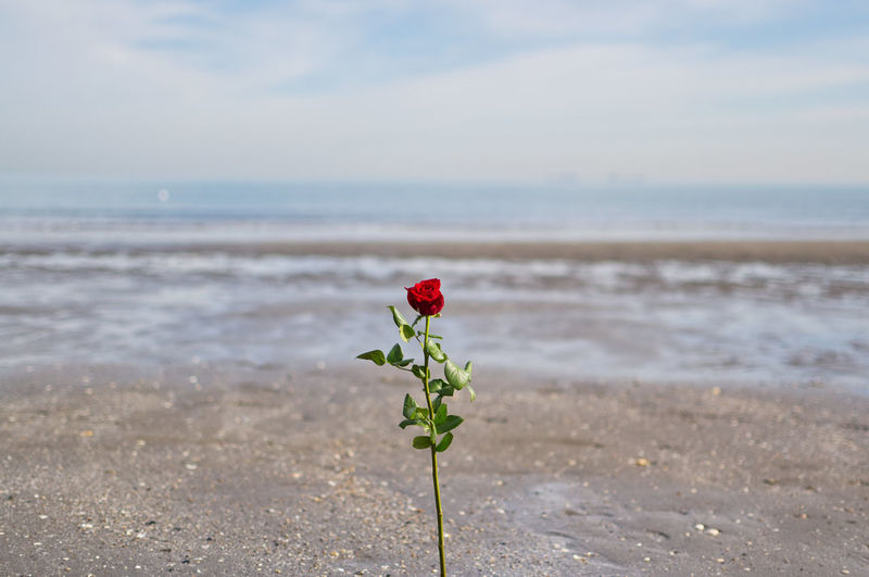Red rose on beach against sea