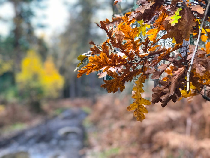 Autumn leaves Autumn Change Focus On Foreground Tree Plant Leaf Plant Part Nature Beauty In Nature Day Orange Color Growth Close-up Outdoors No People Branch Leaves Tranquility Vulnerability  Selective Focus Maple Leaf Autumn Collection Fall Natural Condition