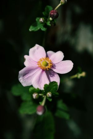 Japanese Anemone Pink Beauty In Nature Blooming Blossom Close-up Day Flower Flower Head Fragility Freshness Growth Nature No People Outdoors Petal Pink Color Pink Flower Plant Yellow See The Light