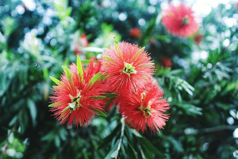 Flower Nature Beauty In Nature Plant Fragility Growth Red Green Color Outdoors Freshness Day No People Flower Head Springtime Close-up Poppy Tree