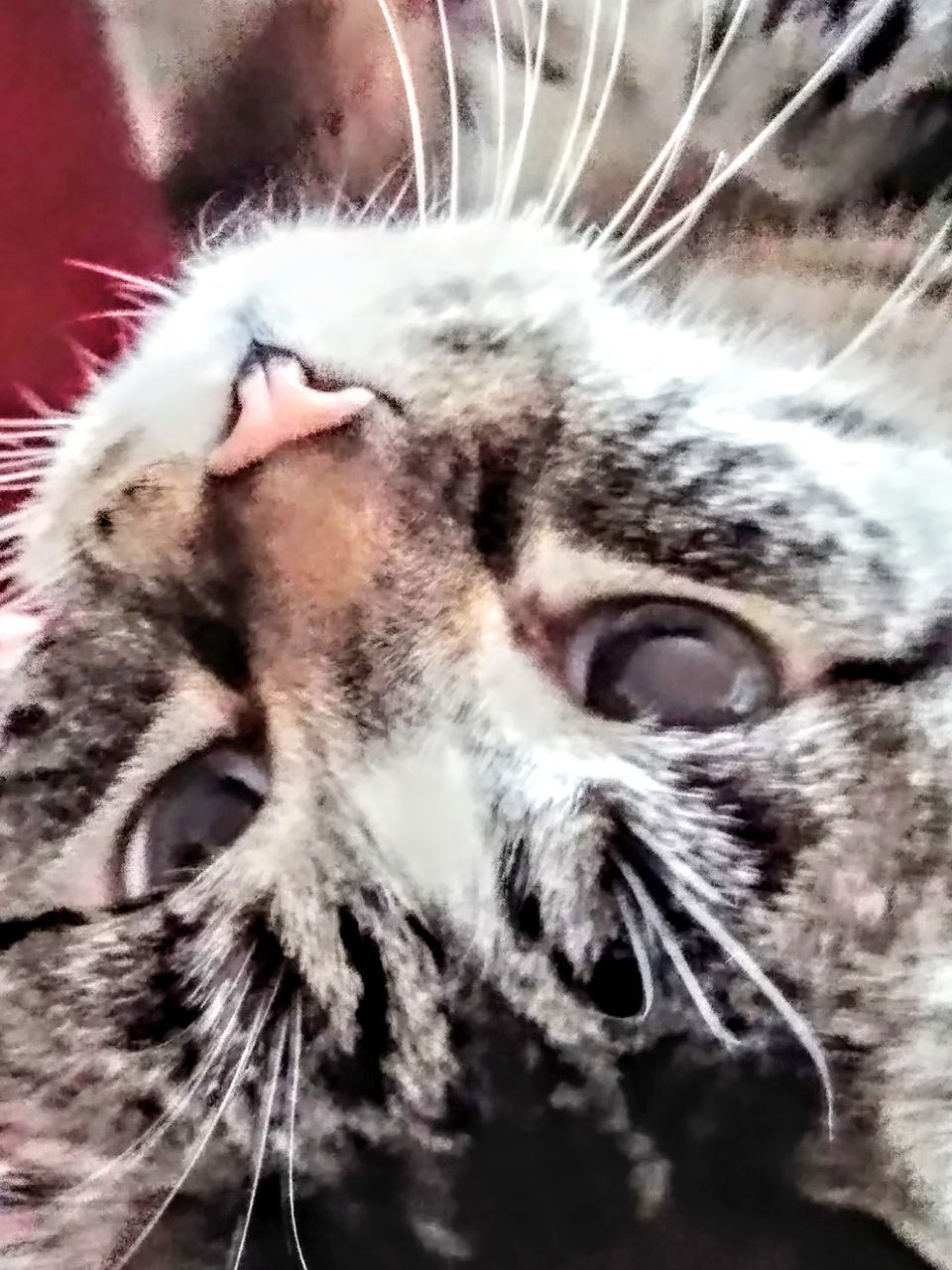 one animal, animal, domestic cat, animal themes, domestic, close-up, pets, mammal, domestic animals, animal body part, cat, feline, vertebrate, whisker, no people, animal head, selective focus, animal hair, indoors, focus on foreground, animal mouth, tabby