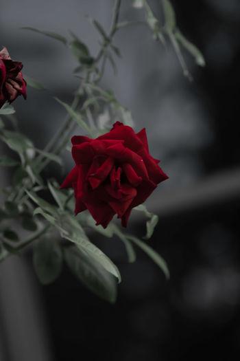 Sadly Rose