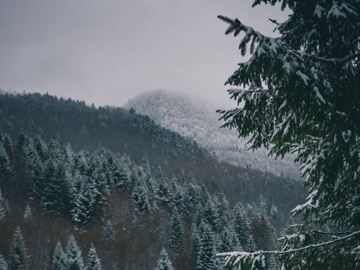 Pine trees on snowcapped mountains against sky during rainy season