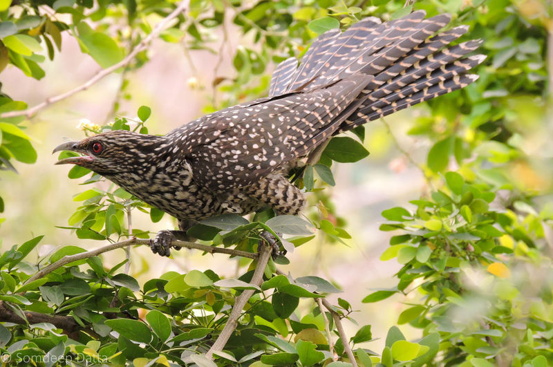 Animal Wildlife Bird Bird Photography Birds Close-up Cuckoo Female Cuckoo Natural Natural Beauty Natural Light Nature Nature Outdoors