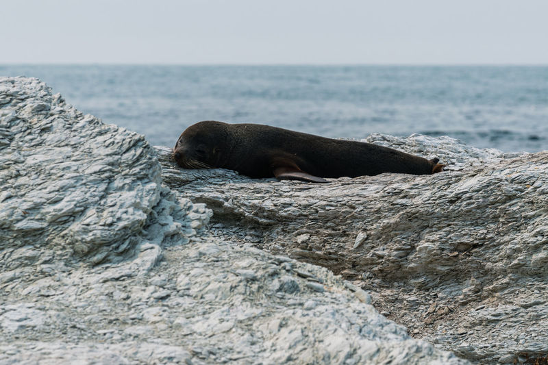 Scenic view of fur seal dozing by sea and rocks