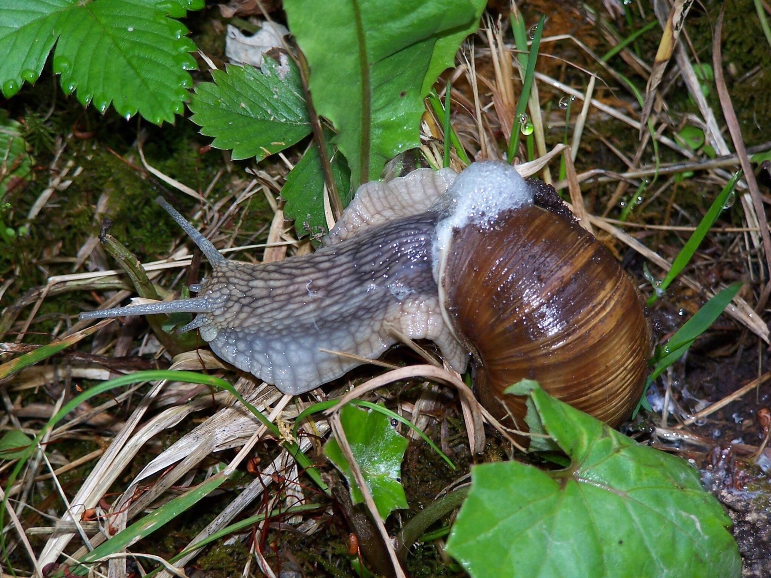 animal themes, animals in the wild, one animal, wildlife, snail, leaf, close-up, animal shell, nature, plant, green color, animal antenna, brown, outdoors, insect, mollusk, day, high angle view, focus on foreground, no people