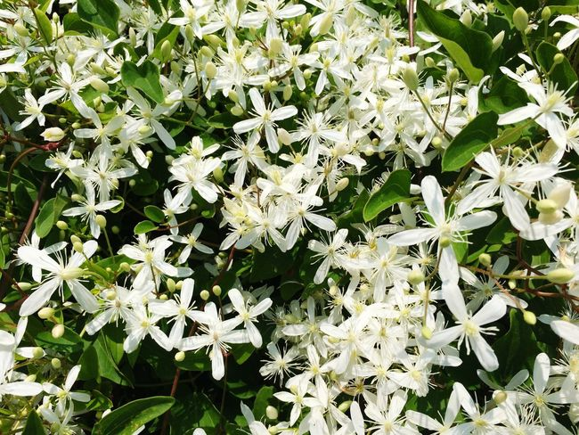 White Flowers Lilacs Sweet Smell Closeup Depth Of Field Flora