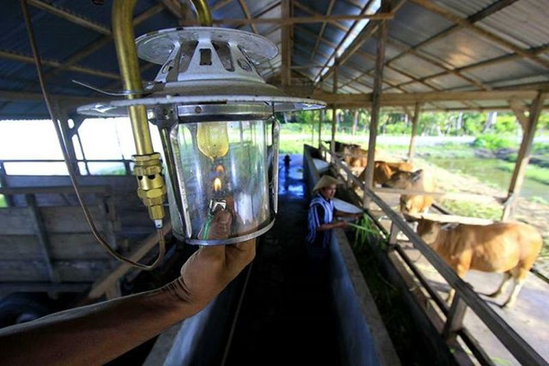 Warga menyalakan lampu cempor berbahan bakar biogas dari kotoran sapi di DesaToboino, Kecamatan Wasile Timur, Kabupaten Halmahera Timur, Maluku Utara. Kamis,10 Desember 2015. Warga mengolah kotoran sapi menjadi biogas untuk mengatasi permasalahan ketersediaan listrik dan meningkatkan kesehjateraan petani dengan mengembangkan penghasilan 4F (Food, feed, Fertilizer, dan Fuel). Tempo Tempophoto Korantempo Majalahtempo Tempo .co @greenpeaceid EnergibersihGP EnergibersihGP Bingkainegeri