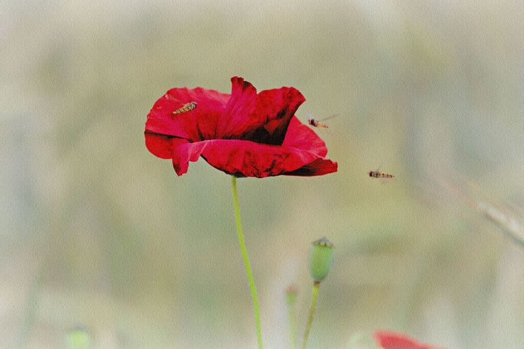 Flower Beauty In Nature Red Vulnerability  Petal Close-up Freshness Flower Head Focus On Foreground Nature Poppy Poppy Flowers Bokeh Nature_collection Nature Photography Nature Lover Insect Insect Photography Insect Paparazzi Flying Animal Themes Animals In The Wild Animal Photography Walking Around Taking Pictures Beautiful Flowers Flower Photography Flowers, Nature And Beauty Natural Beauty Nature Is Art Nature Is My Sanctuary 🌳💚 Nature Is My Best Friend EyeEm Gallery EyeEm Nature Lover Eye4photography  Eye4nature Lovely Beautiful Beautiful Nature Meadow Meadow Flowers
