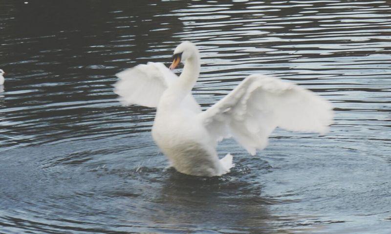 Naturelovers Nature_collection Panasonic Lumix GX1 Waterbirds Nature Photography The Birds Swan