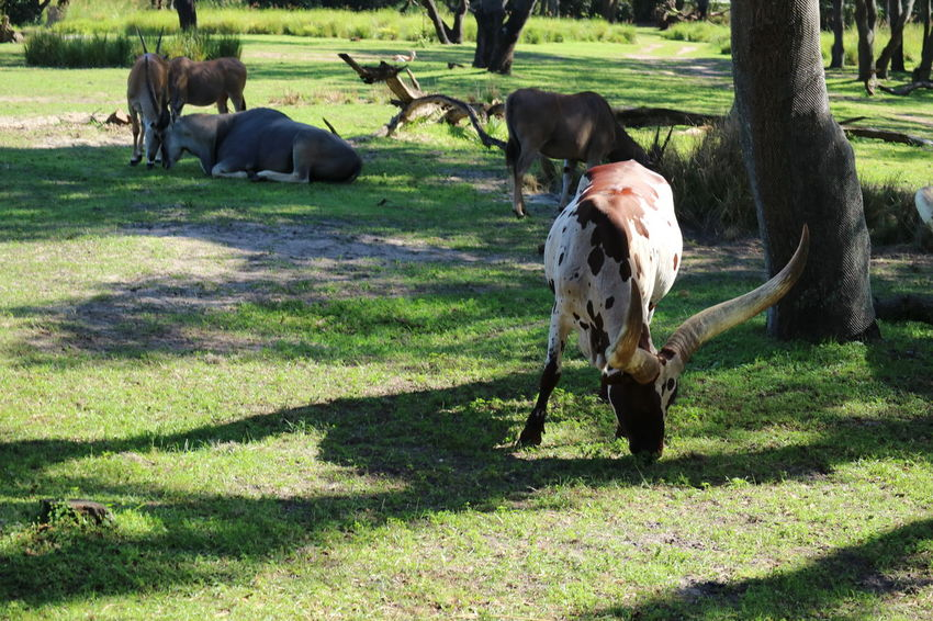 Animal Themes Animals Bulls Day Grass Grazing Horned Animals Horns Mammal Nature No People Outdoors