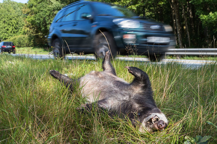 Cars Killed Roadkill Accident Animal Themes Badger Car Carcass Close-up Day Dead Grass Hit By A Car Land Vehicle Lying Down Mammal Meles Meles Mode Of Transport Nature No People One Animal Outdoors Run Over Transportation Unfortunate