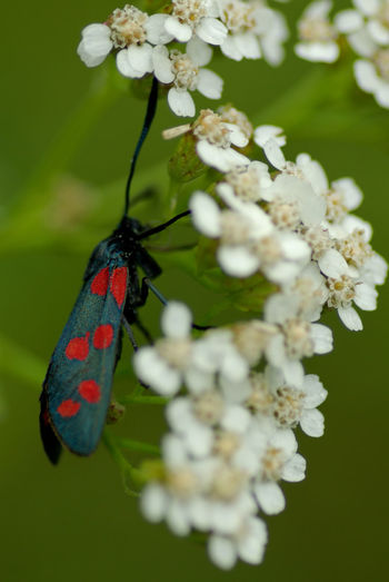 Close-up of six-spot burnet on white flowers