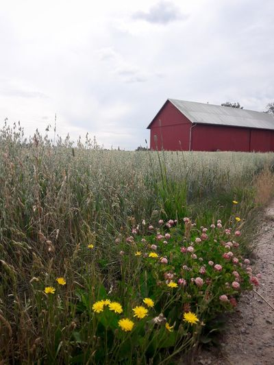 Built Structure House Sky Architecture Building Exterior Field Plant Wheat Vacations Gold Day Flower Outdoors Growth Nature Tranquility Cloud - Sky Rural Scene Beauty In Nature Barn Landscape Grass Tranquil Scene Cereal Plant Crop
