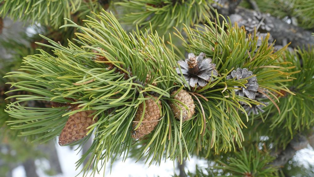 EyeEm Selects Old cones and new. Pine Pine Cones Pine Cone Pine Needles Brough Nature Pine Tree Close-up Branch Green Color Fresh Old And New Growth Squirrel Food Outdoors Beauty In Nature Vegetation