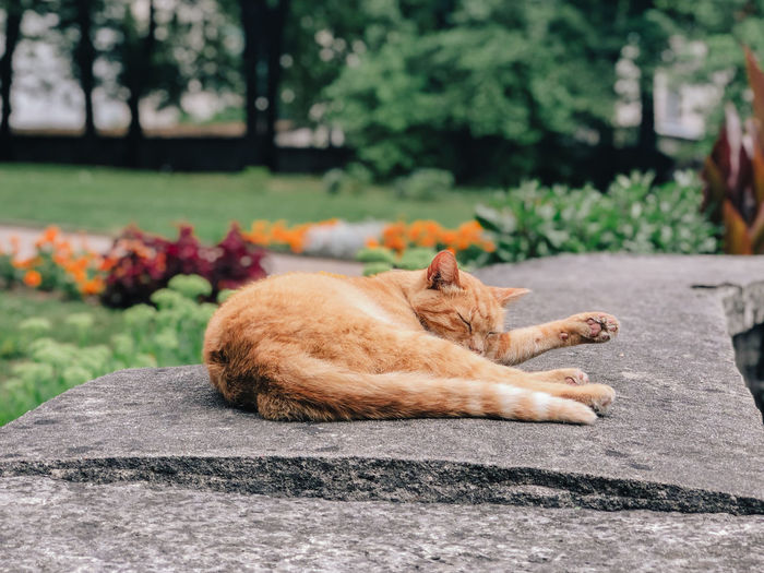 Mammal Animal Themes One Animal Feline Cat Animal Relaxation Pets Domestic Cat Domestic Domestic Animals Vertebrate Resting Lying Down Day No People Nature Sleeping Plant Focus On Foreground Ginger Cat Outdoors Whisker