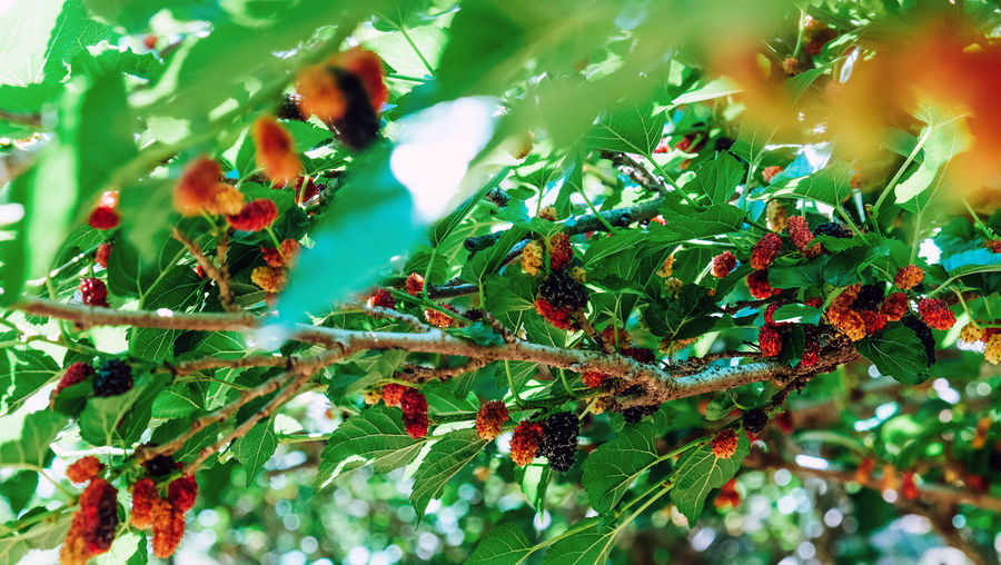 Close-up of berries growing on tree