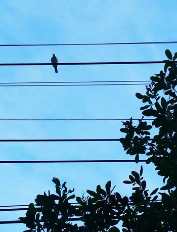 Cable Blue Tree Bird Low Angle View Power Line  Animal Themes Perching Wire Electricity  Nature Branch Adapted To The City Open Edit Urban Skyline Minimalism Silhouette And Sky Shapes , Lines , Forms & Composition TCPM